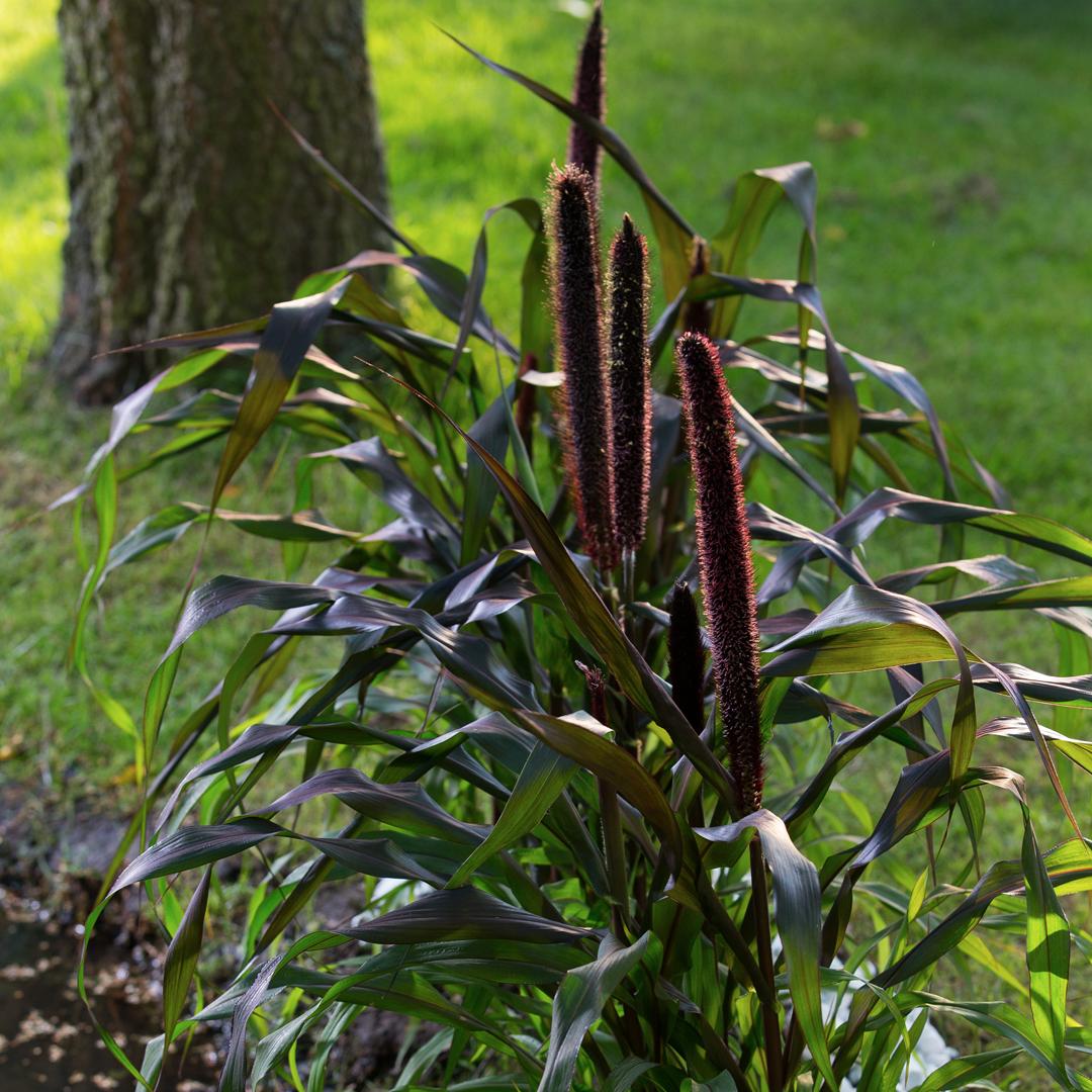 Pennisetum Purple Baron