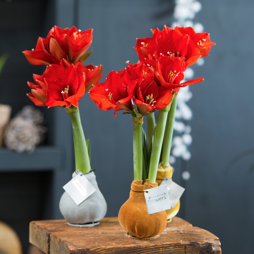 Wax Amaryllis Velvet Touchz metallic