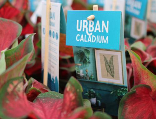 Vreugdenhil Bulbs & Plants lanceert Urban Caladium